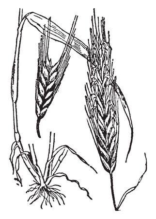 This Picture is of Rye it looks like a corn The Leaves of this Crop are very large and The Roots are deep in the Soil, vintage line drawing or engraving illustration.