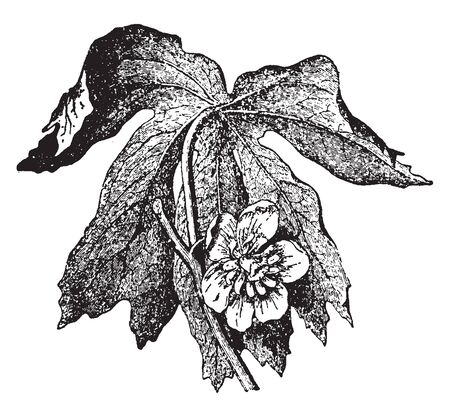 It is a transpiration of a poisonous herb found in North America, which is a flower between two large green beetle stones, vintage line drawing or engraving illustration.