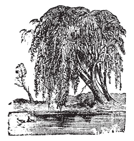 A picture showing a Willow tree which is a class of shrubs or trees of the genus Salix, which vary in size from shrubs only a few centimetres high to trees forty to seventy-five feet high, vintage line drawing or engraving illustration. Ilustração