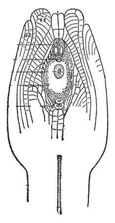 This is the ovule, which is a structure found in a plant which develops in seeds after fertilization, vintage line drawing or engraving illustration.