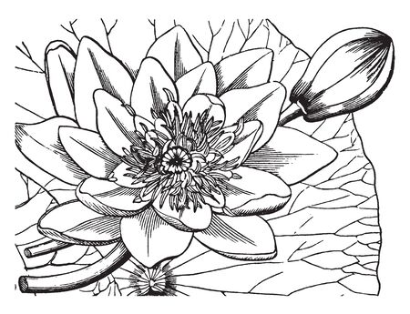 It is Nymphaeaceae is family of flowering plants. Water lilies are rooted in soil in bodies of water with leaves & flowers floating on or emergent from the surface, vintage line drawing or engraving illustration.