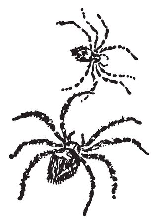 Spiders are air breathing arthropods that have eight legs and chelicerae with fangs that inject venom, vintage line drawing or engraving illustration.