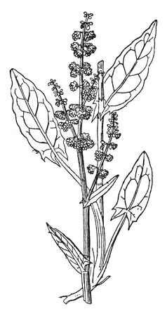 A picture shows the Sorrel Plant. The roots are deep into the ground, as well as juicy stems and edible, arrow-shaped, juicy, acid flavored leaves, vintage line drawing or engraving illustration.