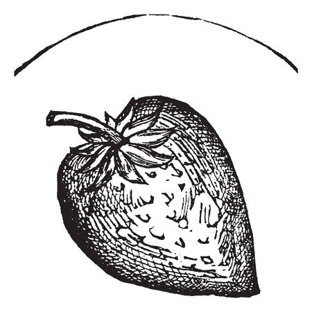 This is image of strawberry. It is full grow strawberry image. It is broad and small fruit. The leaves are very small it attached to upper side of fruit, vintage line drawing or engraving illustration. Çizim