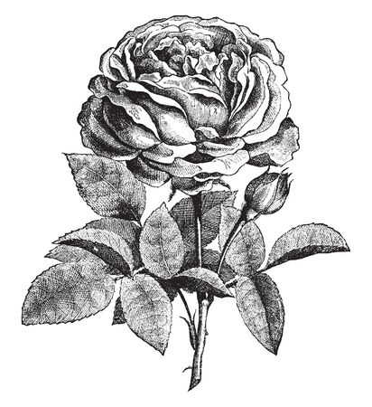 This picture shows rose flower. The flowers are very dense. The leaves are oval shaped. Rose use by for the ornamental. The stems are thorny, vintage line drawing or engraving illustration.