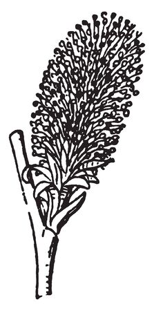 Willow catkin is known as sallows. It is deciduous trees and shrubs, vintage line drawing or engraving illustration. Çizim