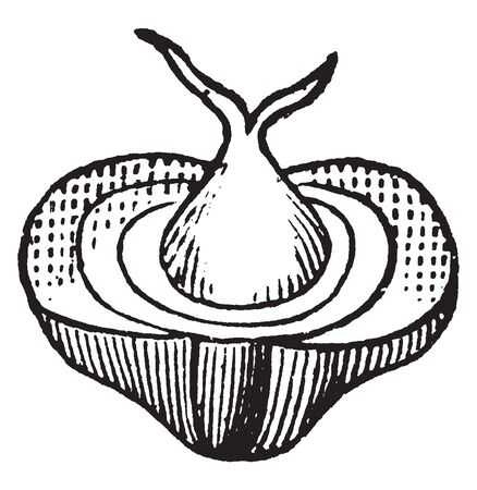 This picture shows a calyx section of the mulberry fruit, vintage line drawing or engraving illustration.