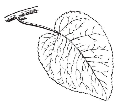 A picture showing the leaf of Swamp Cottonwood tree which is also known as Populus heterophylla, vintage line drawing or engraving illustration.
