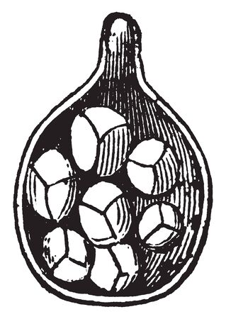 An image of spore-case. This image shows the magnify section of a spore case with some spores. This spore-case is also called as plural sporangia, vintage line drawing or engraving illustration. Çizim