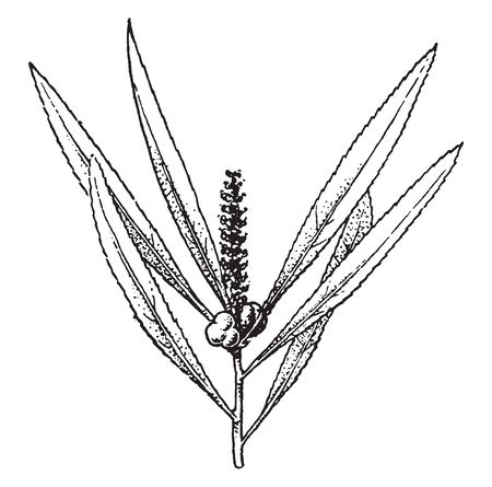 A picture shows the Stillingia Plant. Leaves are long, sharp along with fruits like berry. It is low, brittle shrub and also called as queen's-root, vintage line drawing or engraving illustration.