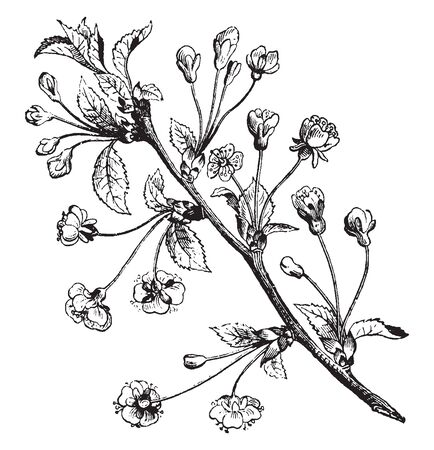 A picture of the branch of Pear tree. The pear is a fruit tree of the Rosacea family, vintage line drawing or engraving illustration.