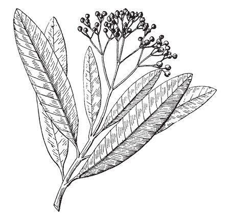Dies ist ein Bild einer Pimento-Pflanze mit ihren Blättern, die auch als Pfefferkorn-Mitglied der Familie Piperaceae, Vintage-Linienzeichnung oder Gravierillustration bekannt sind.