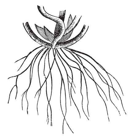 An illustration of the roots. Roots are essential parts for any plant or tree as it helps in nurturing and reserving food which is provided t different parts through stem, vintage line drawing or engraving illustration. Иллюстрация
