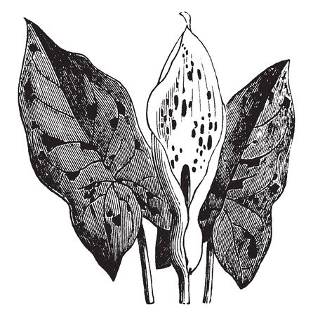 Wake-Robin also known as Arum maculatum is a perennial plant about 45cm long arrow-head shaped green leaves. It is found mainly in Europe, vintage line drawing or engraving illustration.