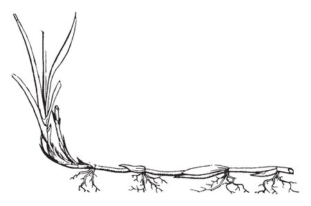This is an image of Quick-grass Root and the grass length is short, but that the roots are spread apart down to the ground and its roots are small, vintage line drawing or engraving illustration.