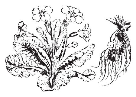 Primrose is flowering plants. His flowers can be purple, yellow, red, pink, blue, or white, vintage line drawing or engraving illustration.