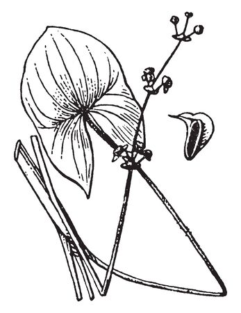 A picture showing the plant of Sagittaria flower. Lowest flowers with only carpels or with only stamens, vintage line drawing or engraving illustration. Illustration