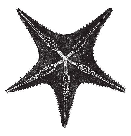 Underside of a starfish consisting of a multitude of small feet called ambulacra, vintage line drawing or engraving illustration.