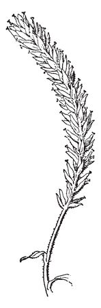 This is the branch White Willow. It has long branches that drape toward the ground and the leaves are long, thin and narrow, with fine pale hairs on the underside of the leaves, vintage line drawing or engraving illustration. Standard-Bild - 132970137