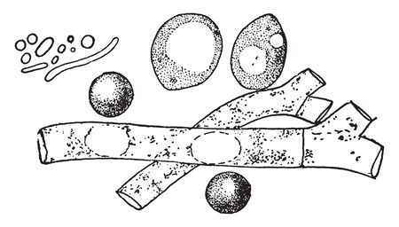 A picture showing the comparative size of Molds, Yeast and Bacteria, vintage line drawing or engraving illustration.
