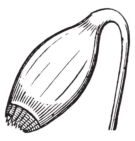 Mnium Cuspidatum is a short-lived evergreen perennial. The leaves are 2.5-5 mm long, vintage line drawing or engraving illustration.