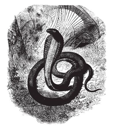 Naia Haje is an African species of hooded snake and the asp has a deadly bite, vintage line drawing or engraving illustration.