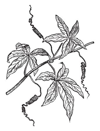 The branch of a Passion Flower. Plants in cultivation are grown up wires with a branching at the top that allows 3 or 4 horizontal stems to be trained for maximum growing surface, vintage line drawing or engraving illustration. Illustration
