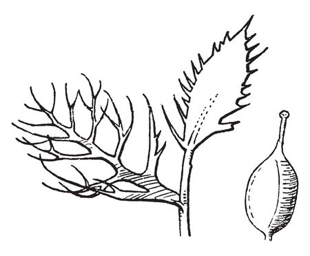 Individual leaflets of compound leaves also lobed or divided, vintage line drawing or engraving illustration.