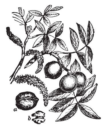 This frame has walnut 8th seed species. It is a branch of the tree that has the fruit of leaves and walnuts, vintage line drawing or engraving illustration.