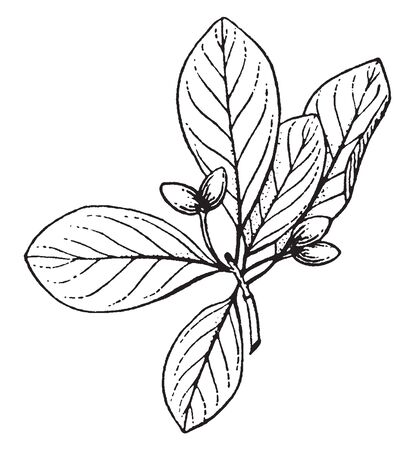 Trees with swollen bases; fruit that drupe, longer than wide, vintage line drawing or engraving illustration. Vectores