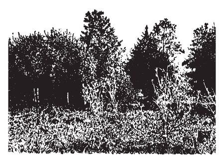 A picture of a farming land covered with white pines which are coming into a pasture, vintage line drawing or engraving illustration. Illustration