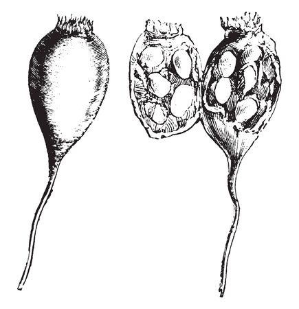 The image shows the round shaped seed and inside of the seedlings of rose, vintage line drawing or engraving illustration.
