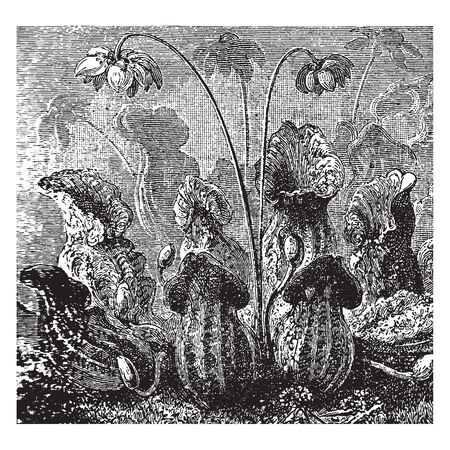 This is Pitcher Plants. It's a group of plants Picture, vintage line drawing or engraving illustration.