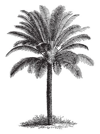 A tall slim tree with thick coarse leaves. Gets thinner the taller it grows, vintage line drawing or engraving illustration.