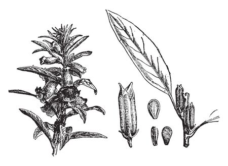 A picture shows Sesame Plant along with his Flower, Seed, Leaves, and Fruits. This is a flowering plant in the genus Sesamum, also called benne. Leaves are long, narrow with edible seeds and fruits, vintage line drawing or engraving illustration.