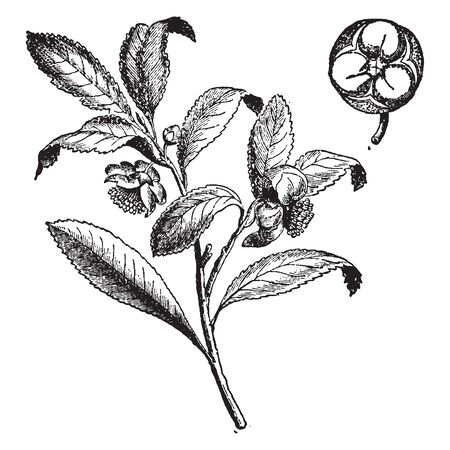 The leaves are glossy green with serrated margin. The plant produces small white flowers with yellow stamens. The fruit that develops has a hard green cost and a single, vintage line drawing or engraving illustration.