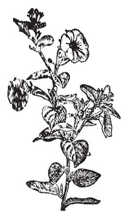 Petunia is flowering plant and native of this plant South American. Flower of this plant is round in shape, vintage line drawing or engraving illustration. 写真素材 - 132972066