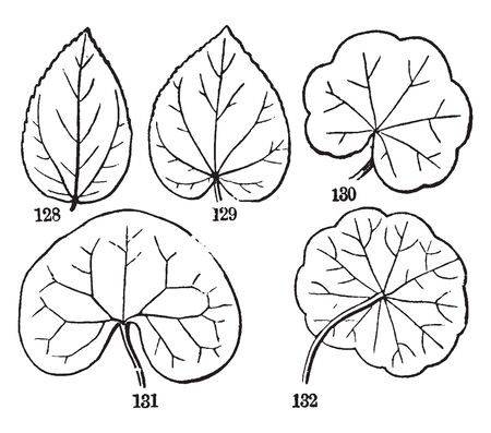 A picture showing the various forms of radiatte-veined leaves, vintage line drawing or engraving illustration.