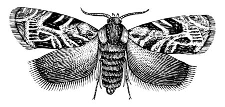 Plum Moth is a genus of small and peculiarly marked tortricid moths, vintage line drawing or engraving illustration. Illusztráció