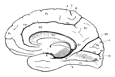 View of the right hemisphere in the median aspect, vintage line drawing or engraving illustration.