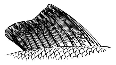 Fish Fin is usually the most distinctive anatomical features of a fish, vintage line drawing or engraving illustration.