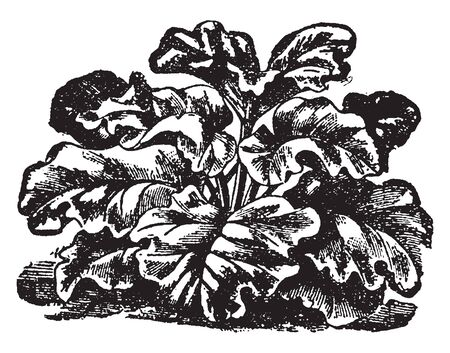 This is images of Rhubarb. It is sometimes applied to the skin to treat cold sores and the root and underground stem are used to make medicine, vintage line drawing or engraving illustration. Ilustração