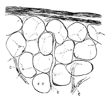 Un groupe de cellules adipeuses avec des vaisseaux capillaires, un dessin de ligne vintage ou une illustration de gravure.