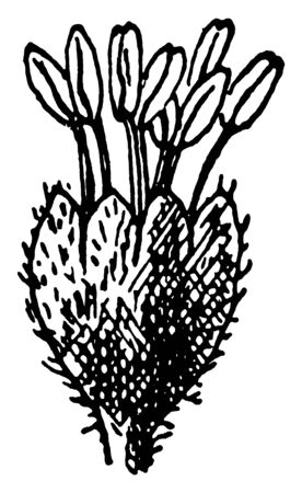 This is the Beech Flower. This shows the staminate flower of the Beech. This flower is thorny, vintage line drawing or engraving illustration.