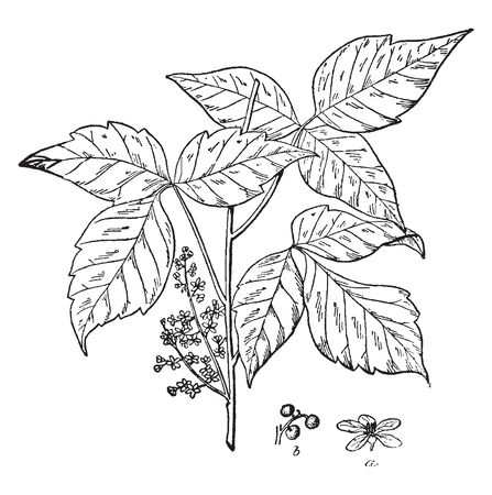 An illustration of ground shrub which is the cause of human itching, also known as Rhus radicans or rhus toxicodendron, vintage line drawing or engraving illustration.