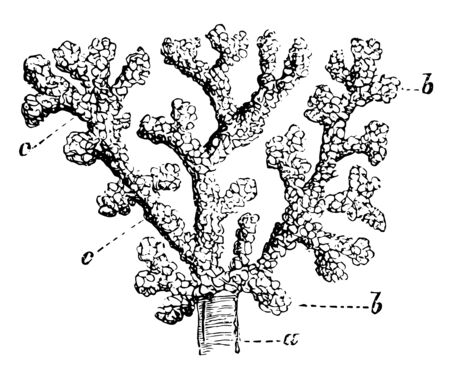 Air cells from the margin of the lung of a monkey and injected with quicksilver, vintage line drawing or engraving illustration.