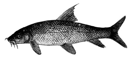 Barbel is group of small carp like freshwater fish, vintage line drawing or engraving illustration. Illusztráció