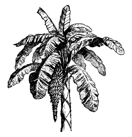 This is a banana tree. This tree has a bunch of bananas, vintage line drawing or engraving illustration.
