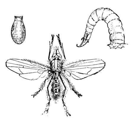 Larva and Chrysalis of the Onion Fly is maggots or footless grubs, vintage line drawing or engraving illustration.
