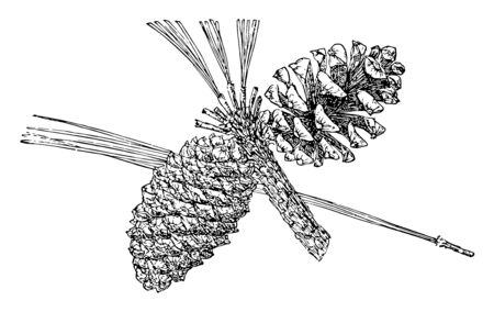 This is the Pine Cone of Arizona Pine. This tree is also known as Pinus Arizonica. This taxon is found in the Sierra Madre Occidental pine-oak forests, vintage line drawing or engraving illustration. Vettoriali